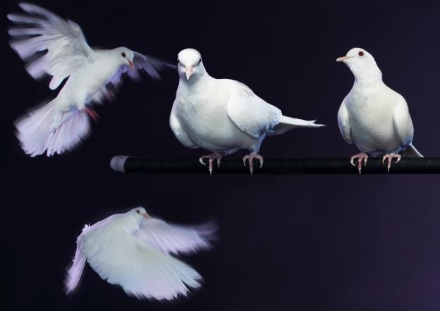 White Doves